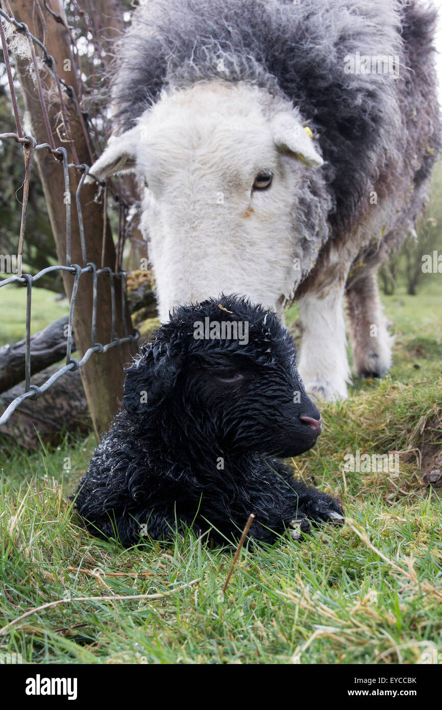 Herdwick ewe with newborn lamb, Cumbria, UK - Stock Image