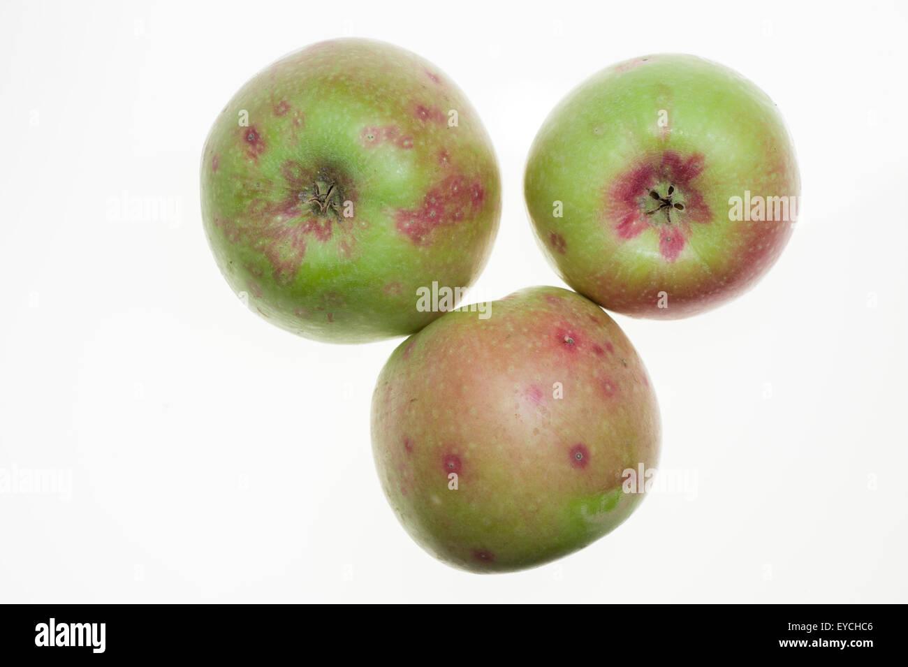 San Jose scale damage to apples - Stock Image