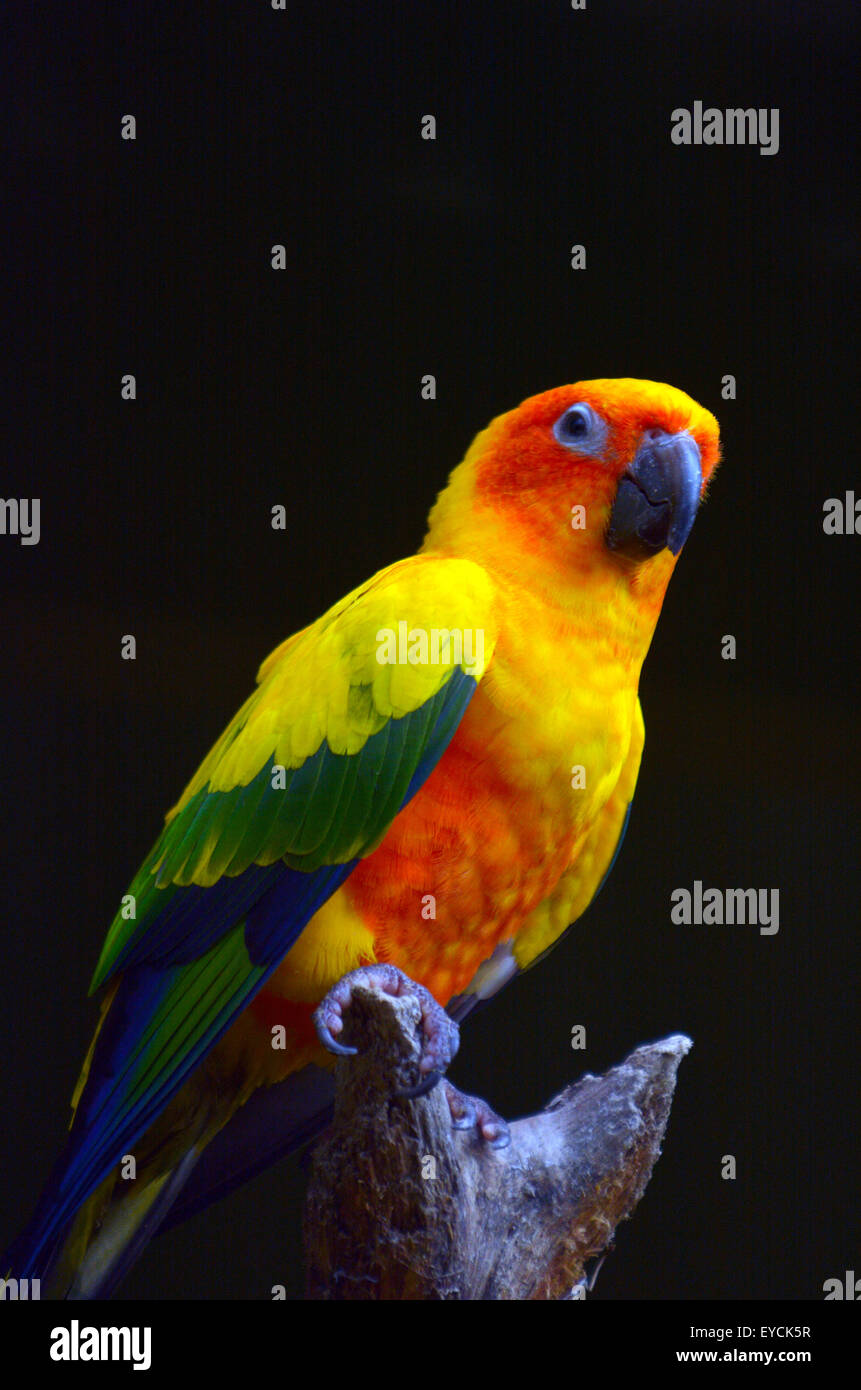 Sun parakeet or sun conure (Aratinga solstitialis) sit on a tree brance. - Stock Image