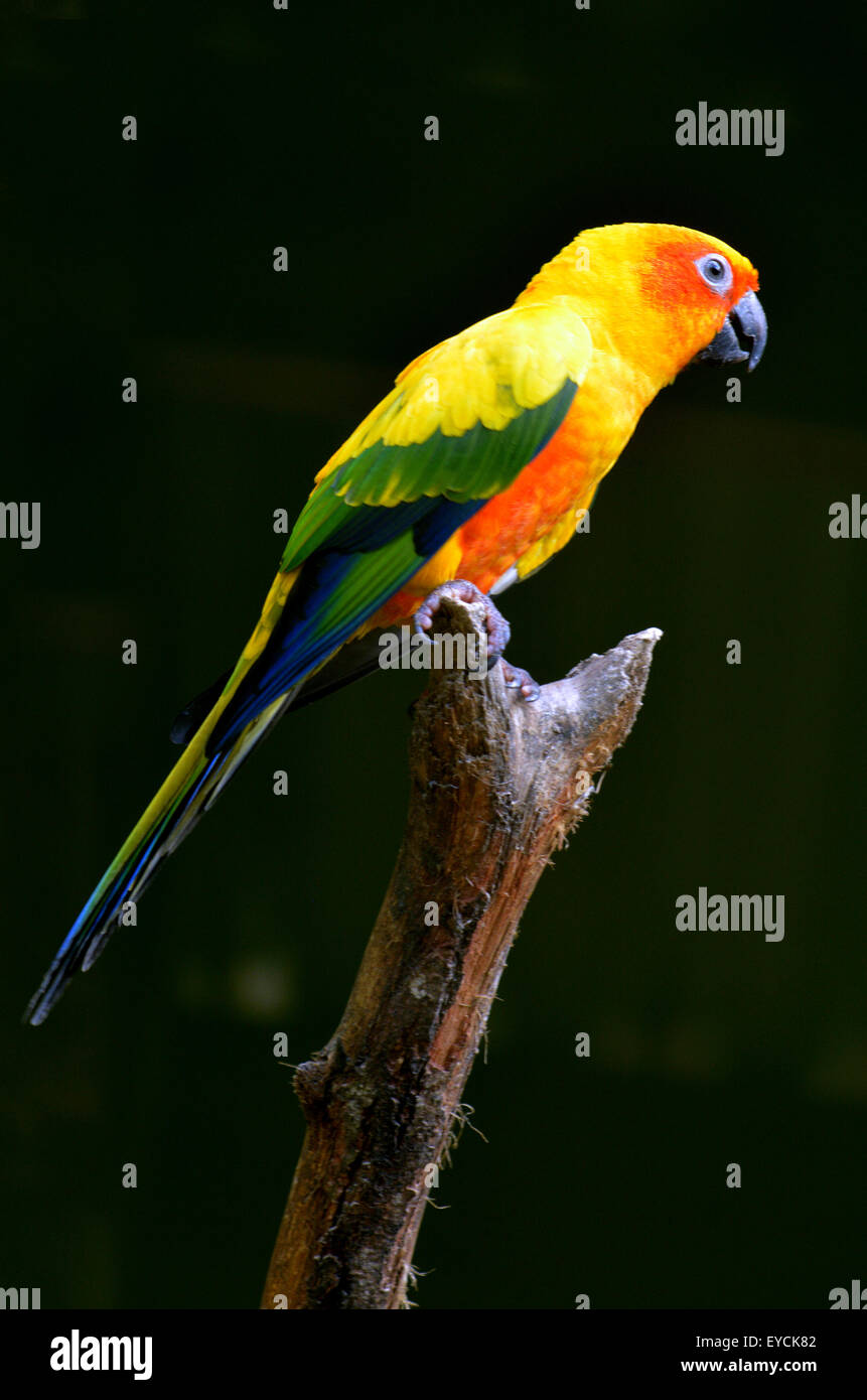 Sun conure or Sun parakeet (Aratinga solstitialis) sit on a tree brance. - Stock Image
