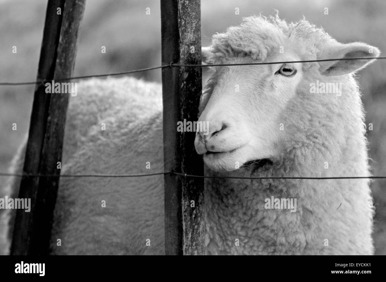 Portrait of a sheep stand behind a fence of a sheep farm. Looks away (BW) - Stock Image
