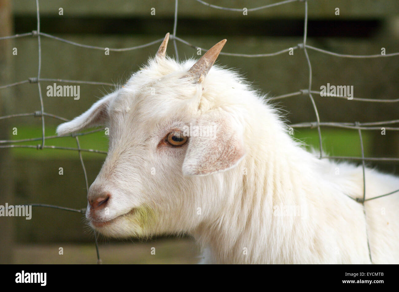 Portrait of a white kid Goat in a Goat farm  copy space Stock Photo