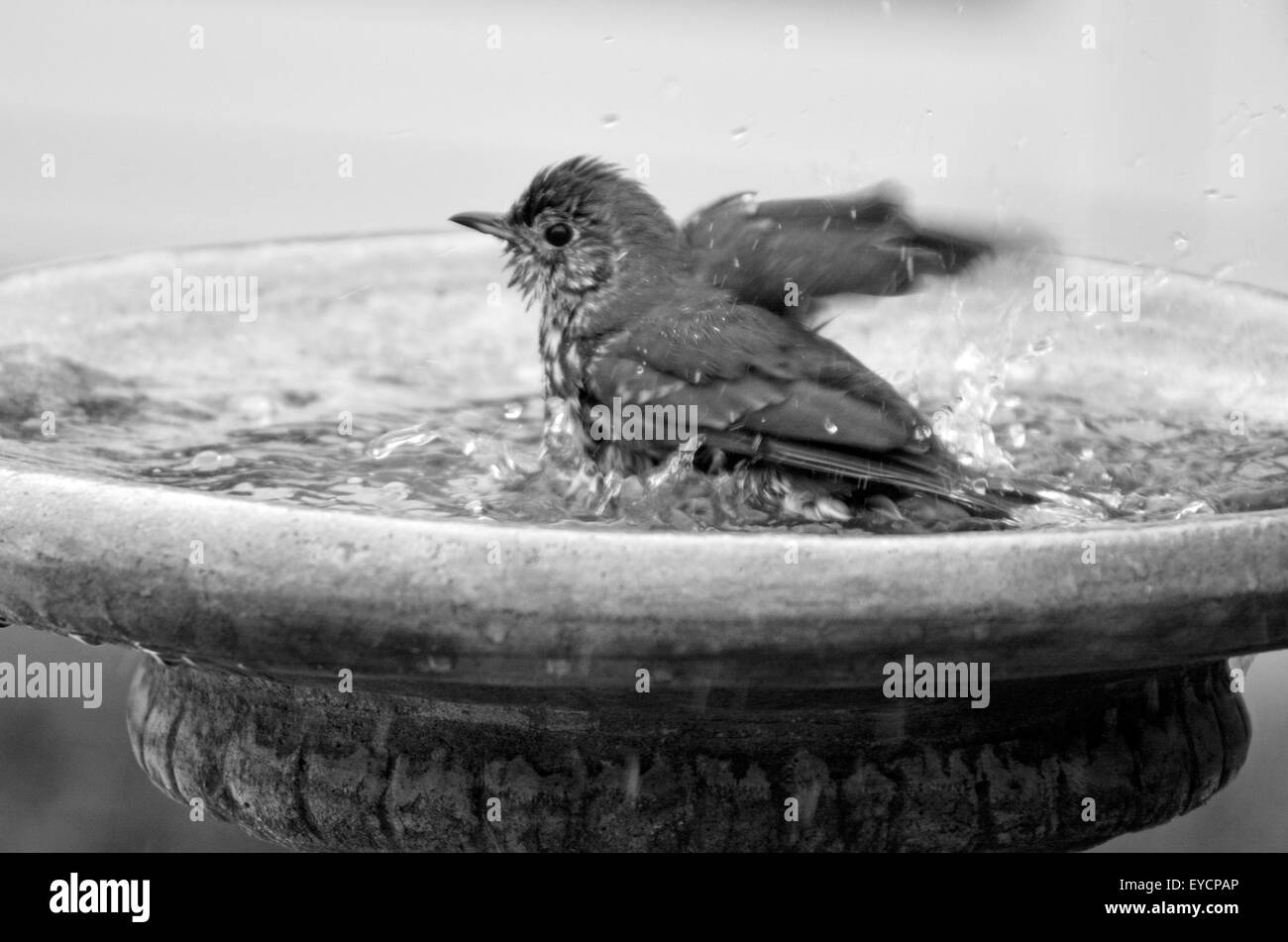 Delicieux Yellowhammer Having A Bird Shower In Home Garden Birdbath. (BW)   Stock  Image