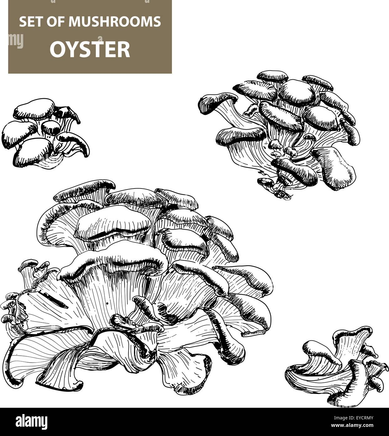 Mushrooms. Oyster. - Stock Image
