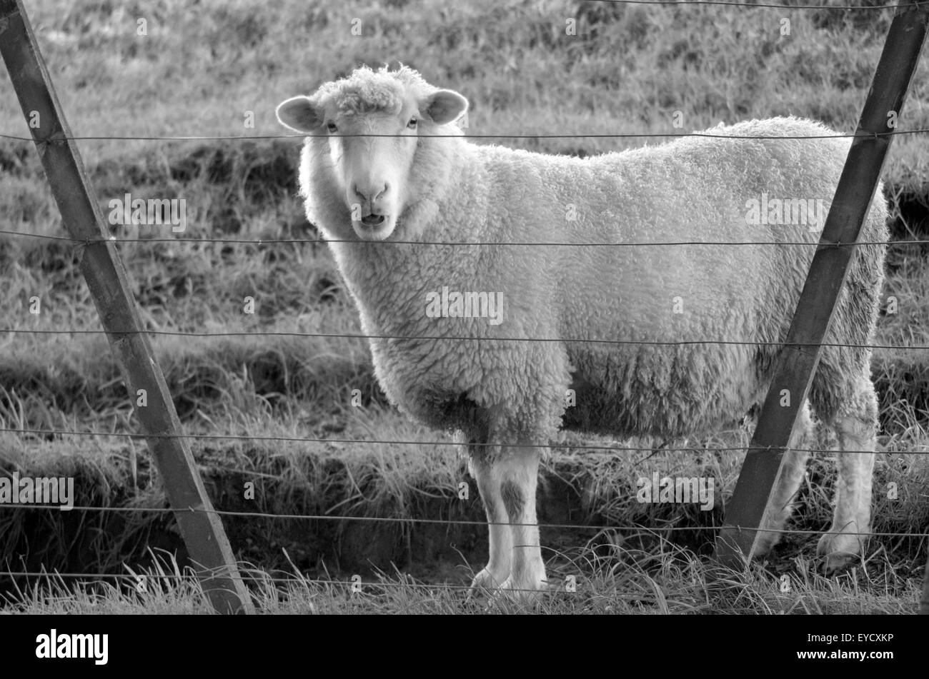 Sheep stand behind a fence of a sheep farm. Full body looks at the camera (BW) - Stock Image