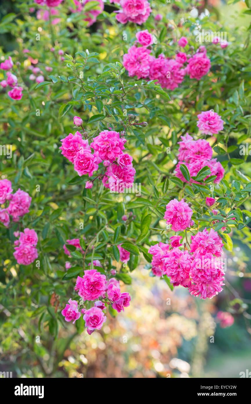 Rosa 'Dorothy Perkins'. Rose 'Dorothy Perkins'. Rambler Rose in an english garden - Stock Image