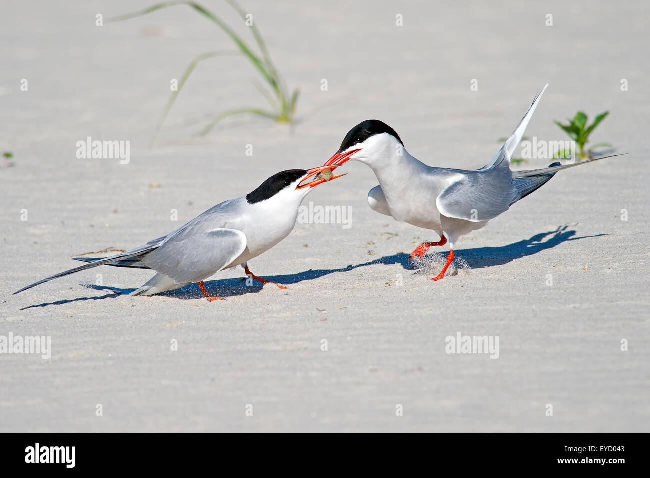 Common Tern Mating Ritual over Fish - Stock Image