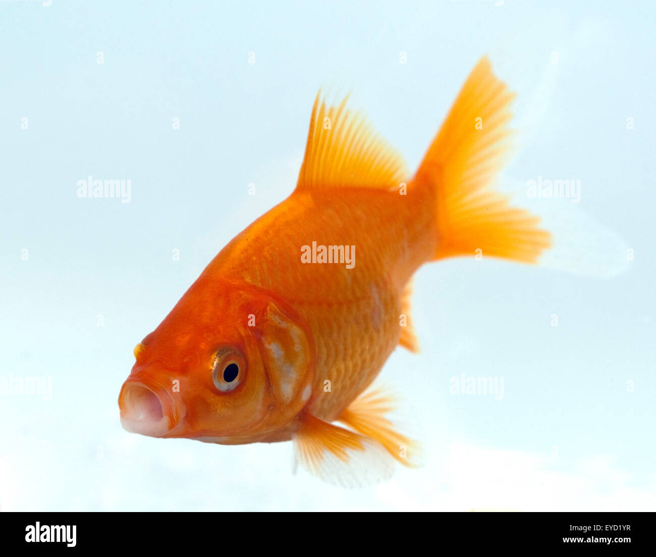 Goldfisch, Carassius gibelio, Suesswasserfisch Stock Photo