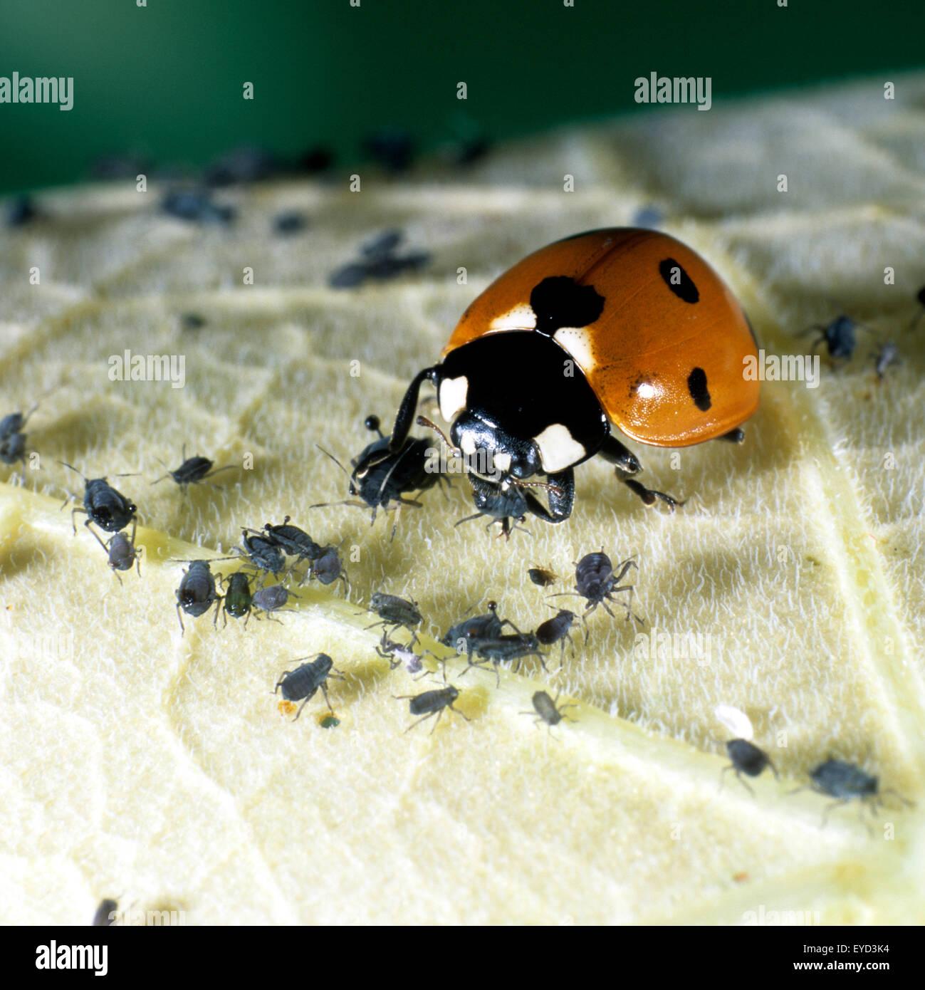 Marienkaefer, Coccinella, semptempunctata beim Fressen von Blattlaeusen, - Stock Image