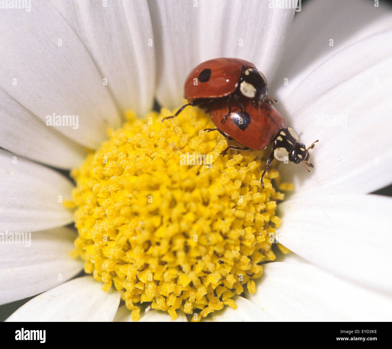 Marienkaefer, Paarung, Paar, making, Coccinella, semptempunctata, - Stock Image