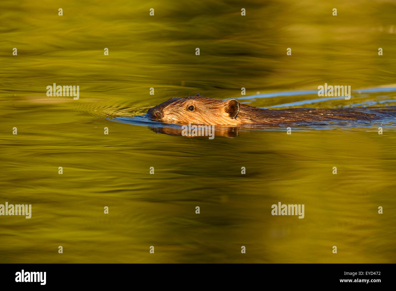 A wild beaver  Castor canadenis, swimming in the warm tones water of his beaver pond - Stock Image