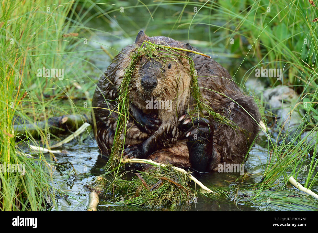 A front view of a wild beaver 'Castor canadensis',  pruning his fur - Stock Image