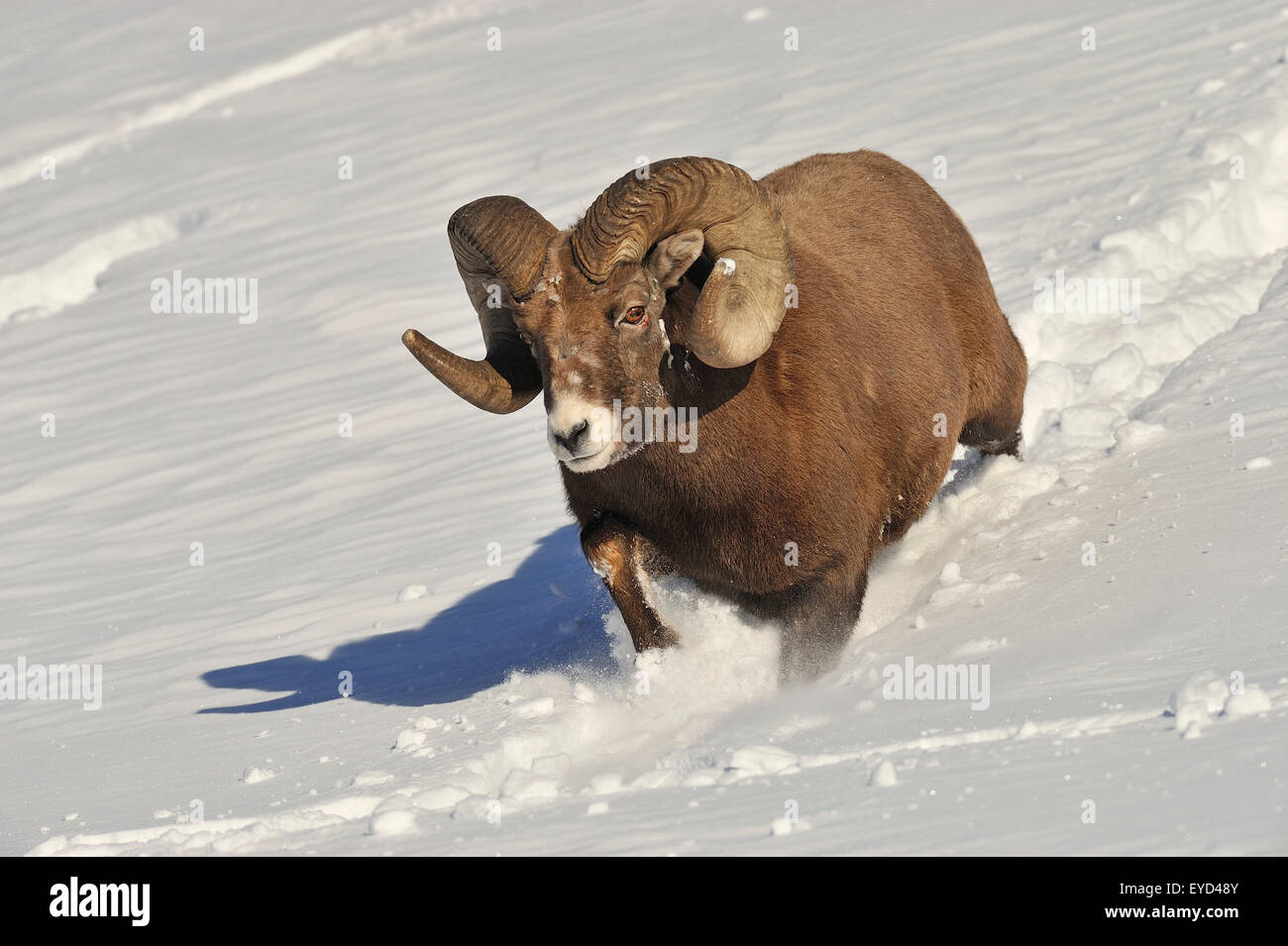 A close up front view image of a rocky mountain bighorn ram running down a snow covered hill side - Stock Image