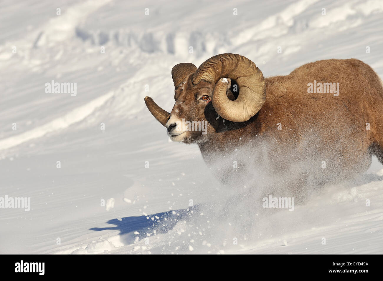 A close up front view image of a rocky mountain bighorn ram running down a snow covered hill side covered - Stock Image