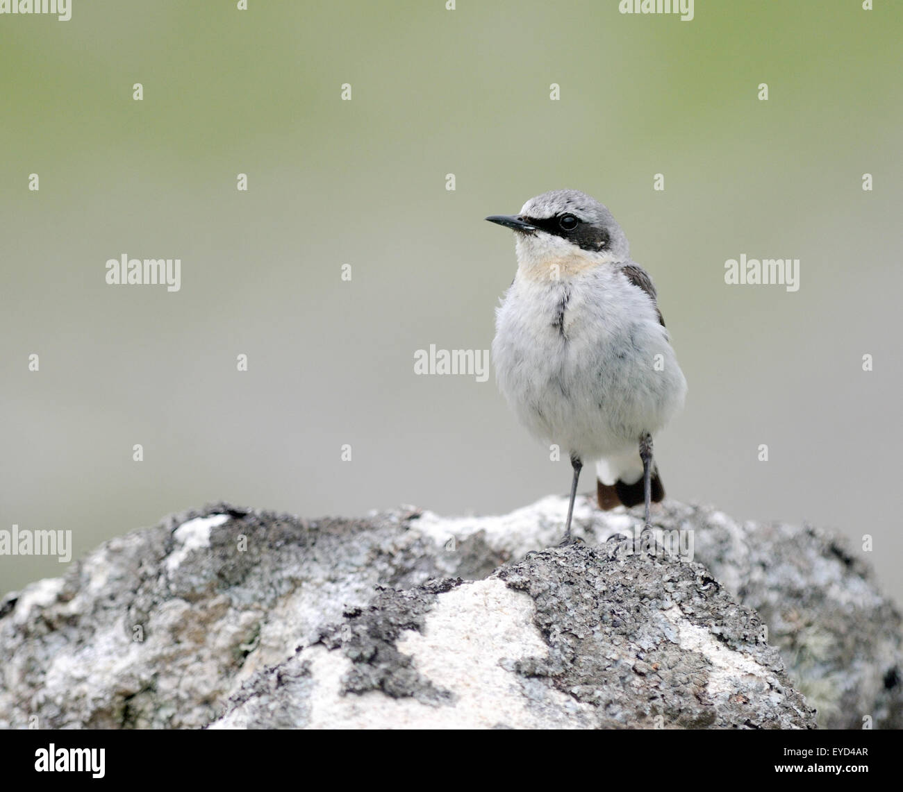 A Northern Wheatear (Oenanthe oeanthe) perches on a lichen covered rock. Hirta, St Kilda, Scotland, UK. - Stock Image