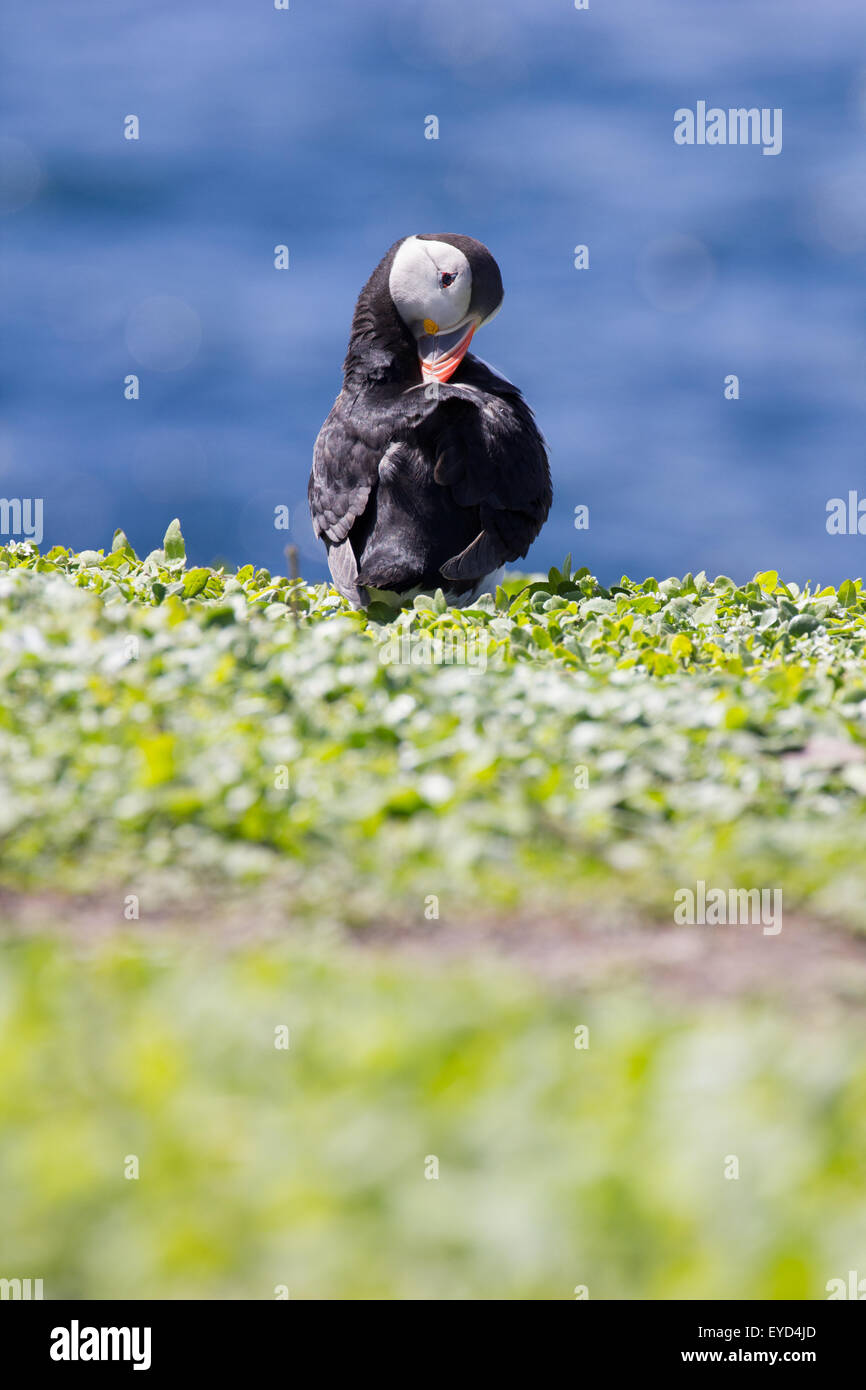 fratercula arctica Puffin preening on the Farne Islands off Seahouses Northumberland England United Kingdom - Stock Image