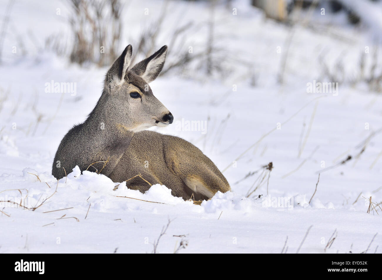 A female mule deer, Odocoileus hemionus, laying in the fresh snow in rural Alberta Canada Stock Photo