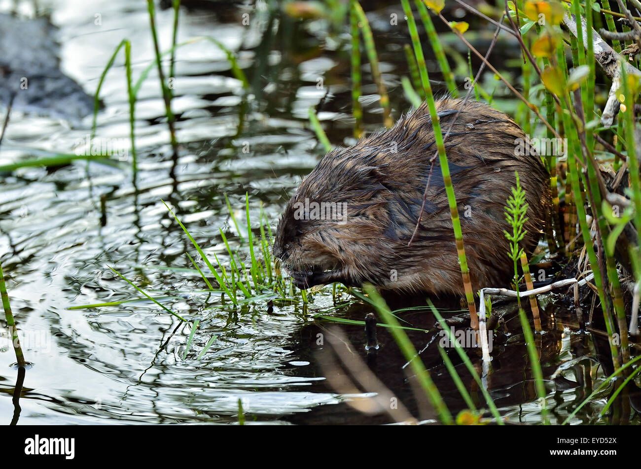 A close up side view of a muskrat 'Ondatra zibethicus', using his front paws to hold green vegetation that - Stock Image