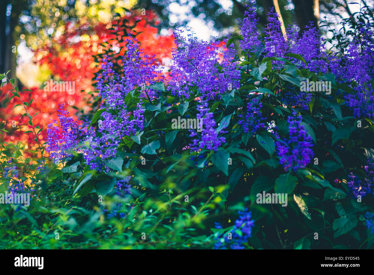 Bright blue and red  flowers, close up - Stock Image