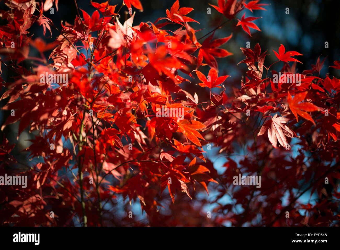 Bright red maple leaves, close up - Stock Image