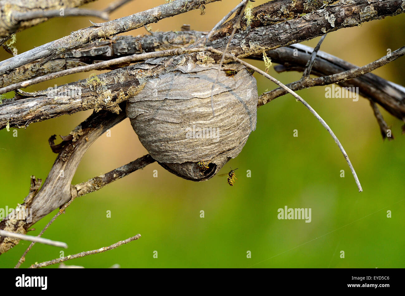 Yellow jacket wasps 'Vespula maculifrons',  building a nest - Stock Image
