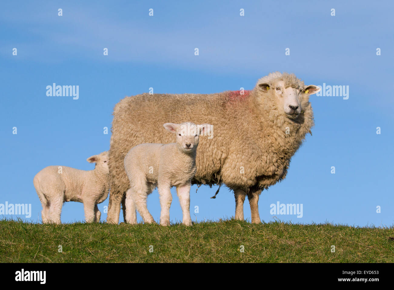 Friesian dairy sheep ewe with two white lambs in meadow, North Frisia, Germany - Stock Image