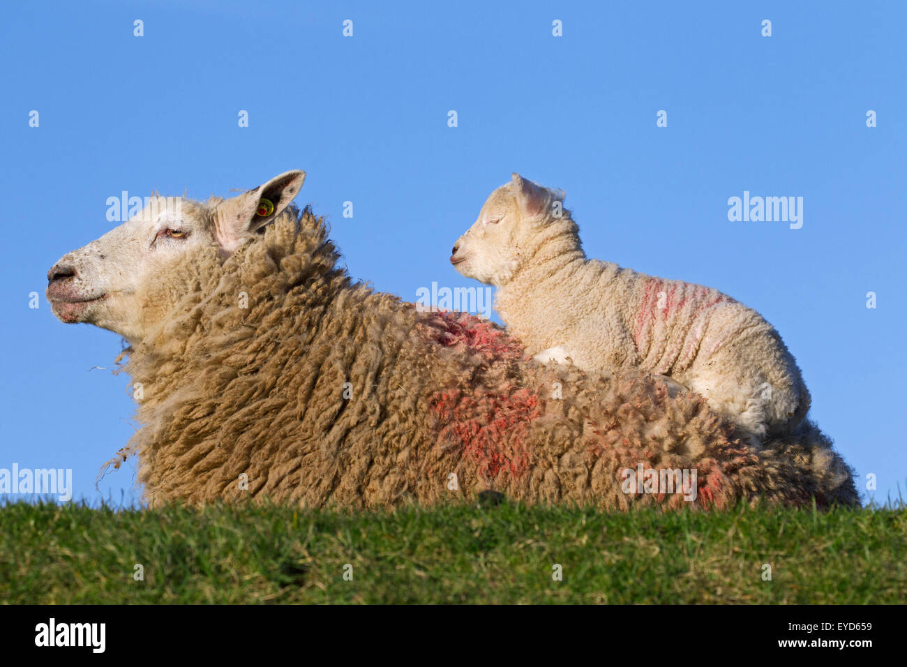 Friesian dairy sheep ewe with white lamb resting on its back in meadow, North Frisia, Germany - Stock Image
