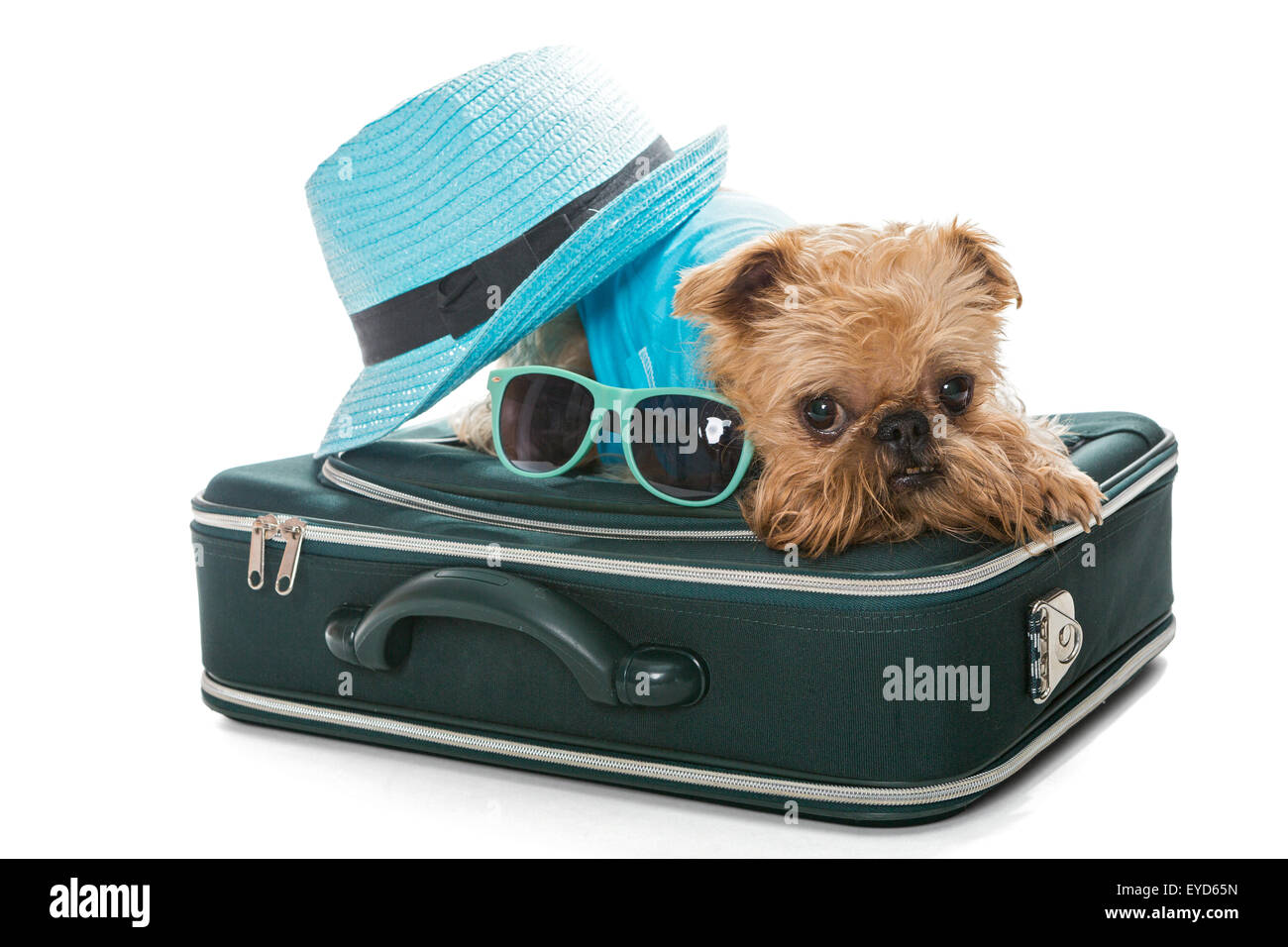 Dog breed Brussels Griffon and a travel suitcase, isolated on white - Stock Image