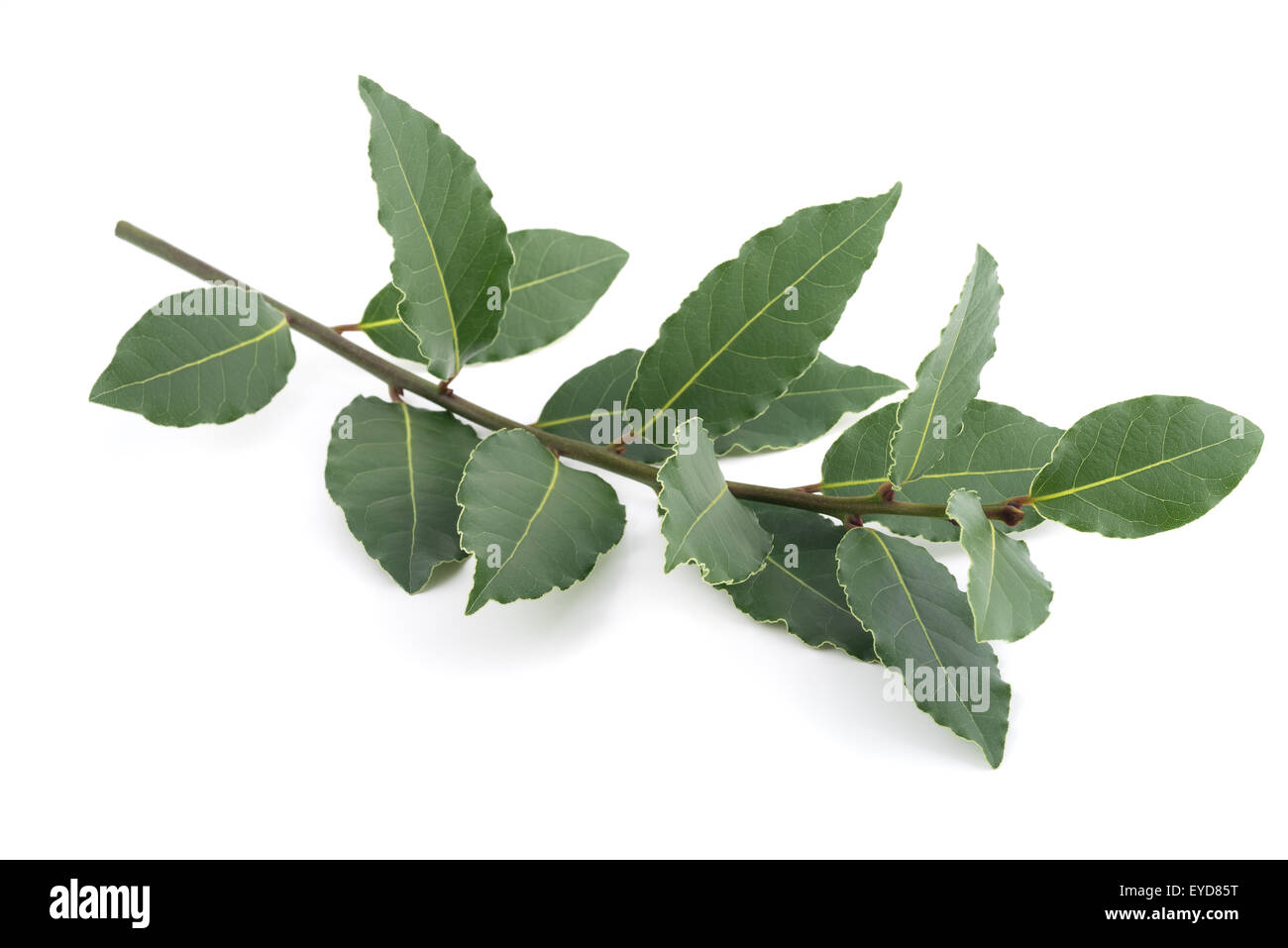 Laurel branch isolated on white background - Stock Image