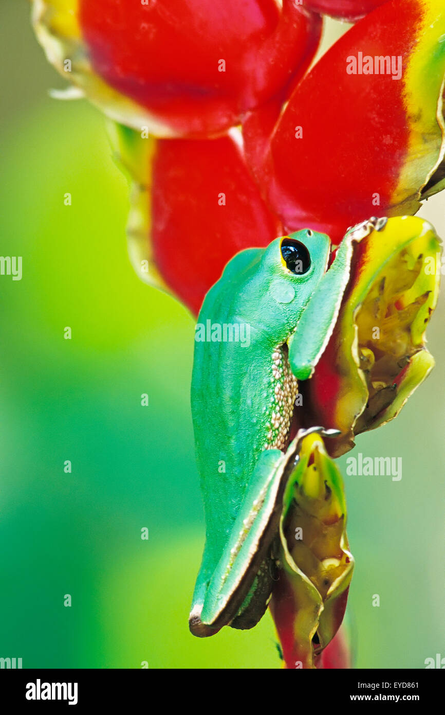 White lined tree frog (Phyllomedusa camba) climbing Heliconia flower, Madidi National Park, Bolivia, South America - Stock Image