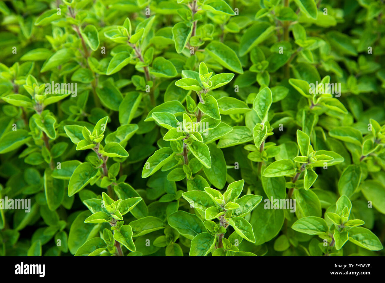 marjoram background isolated on white - Stock Image