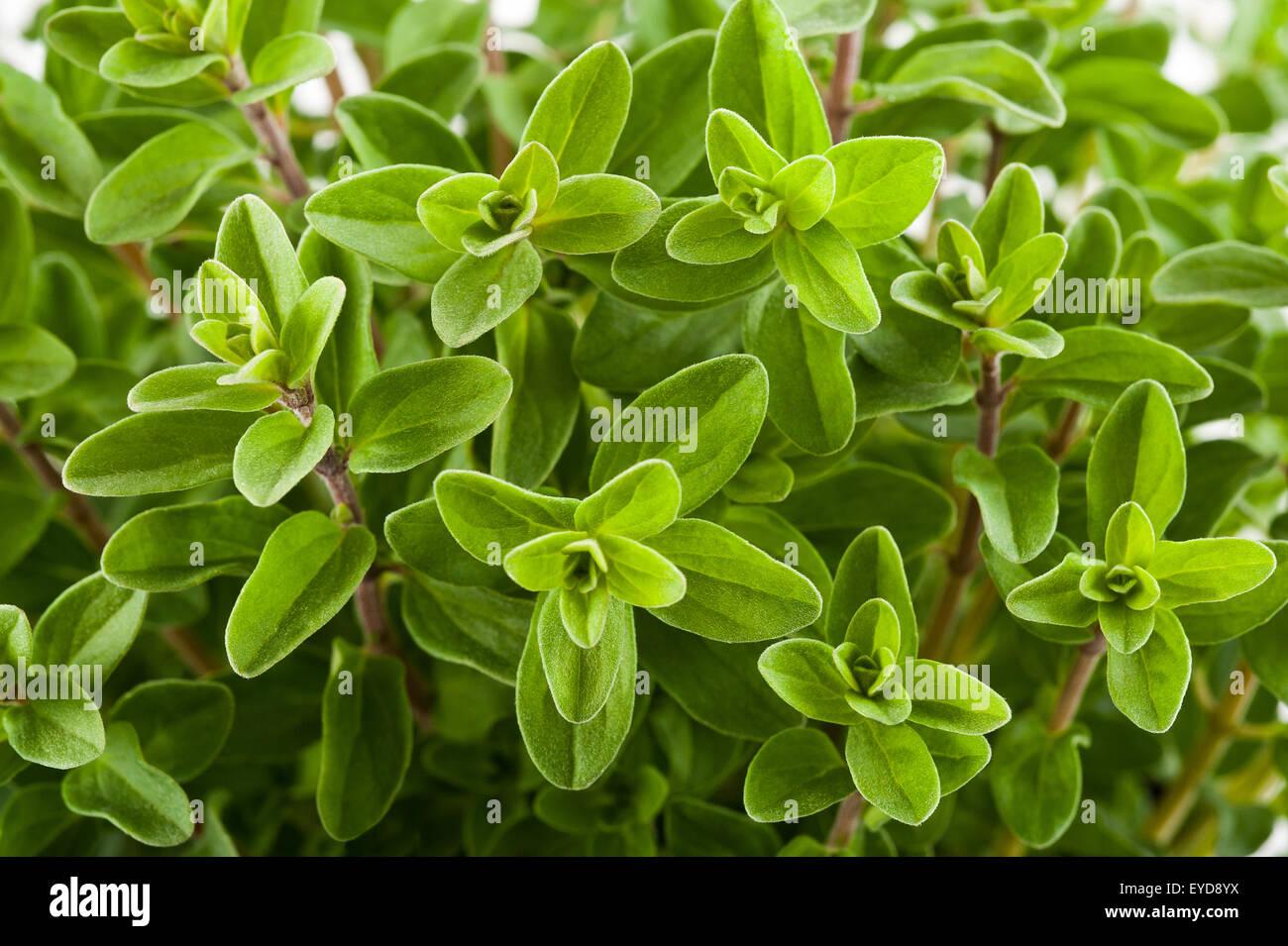 Marjoram background, sprig of marjoram - Stock Image