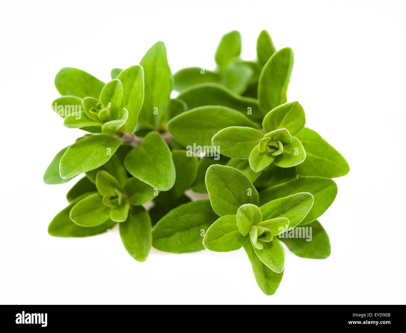 Bunch of marjoram isolated on white - Stock Image