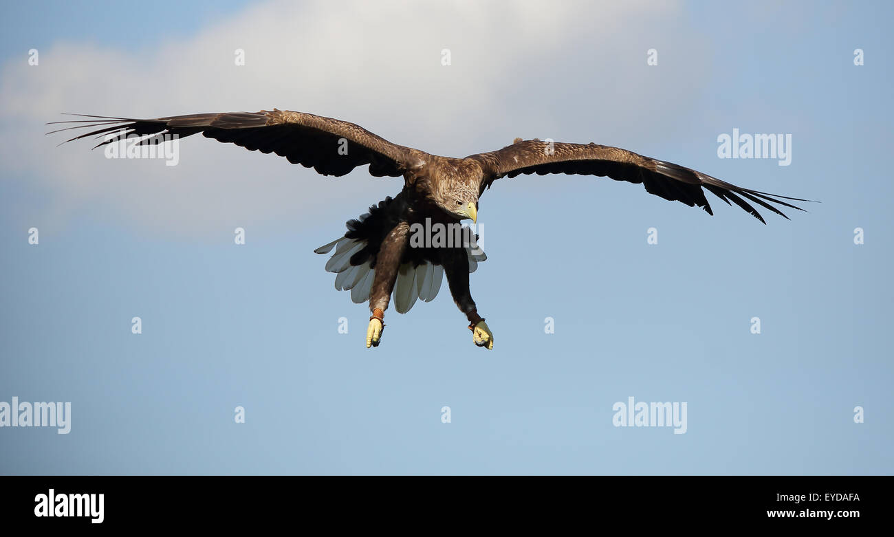 An beautiful White-tailed Sea-Eagle, also known as White-tailed Eagle, or simply Sea Eagle, in flight coming in Stock Photo
