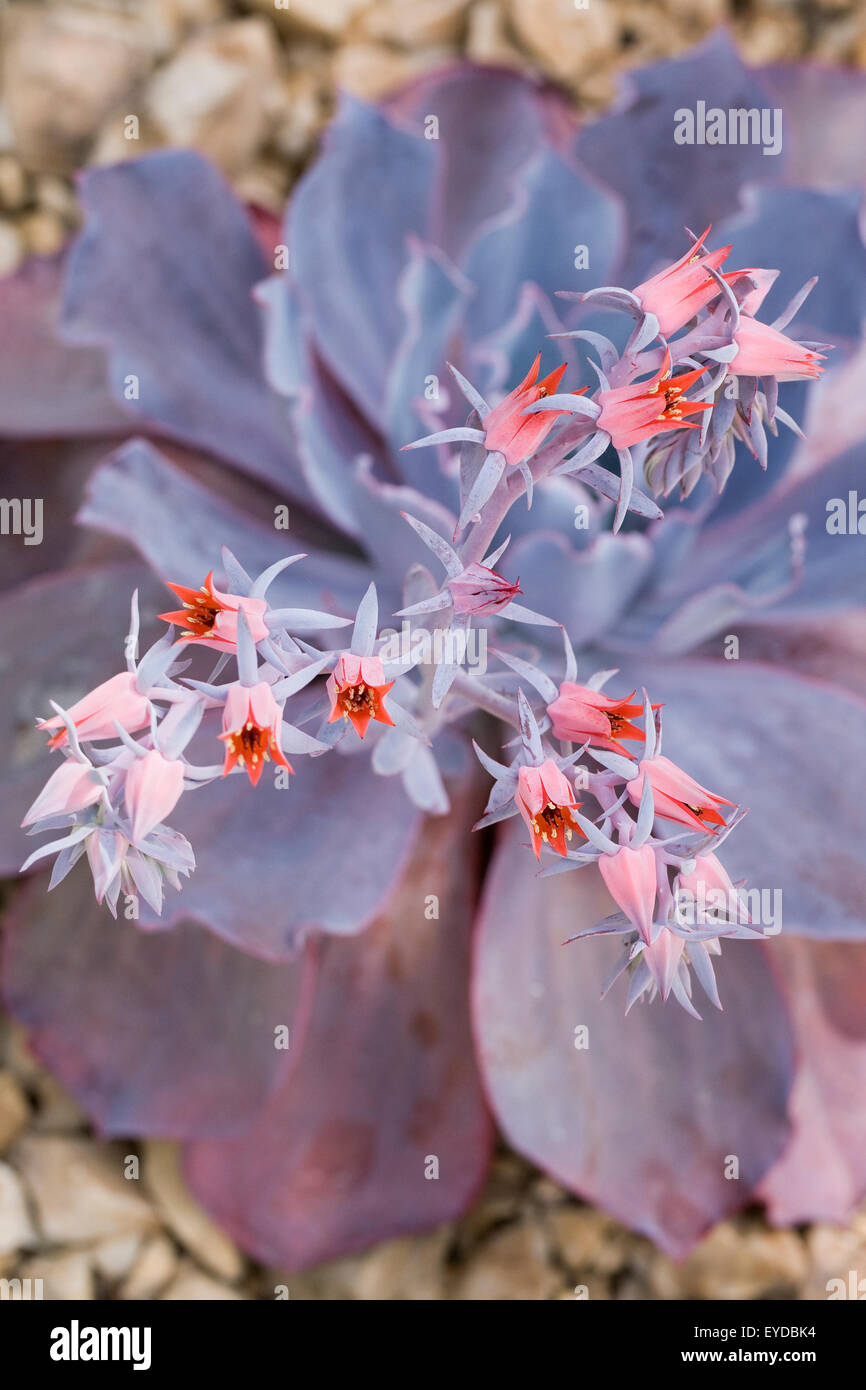 Echeveria 'Afterglow' flowers. - Stock Image