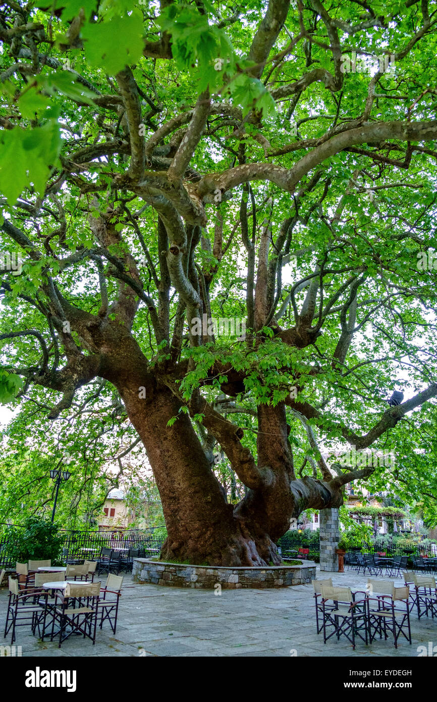 old chestnut tree town centre center square greece - Stock Image