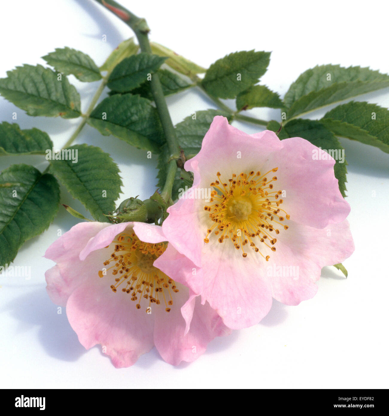 Hundsrose, Heckenrose, Rosa canina, Stock Photo