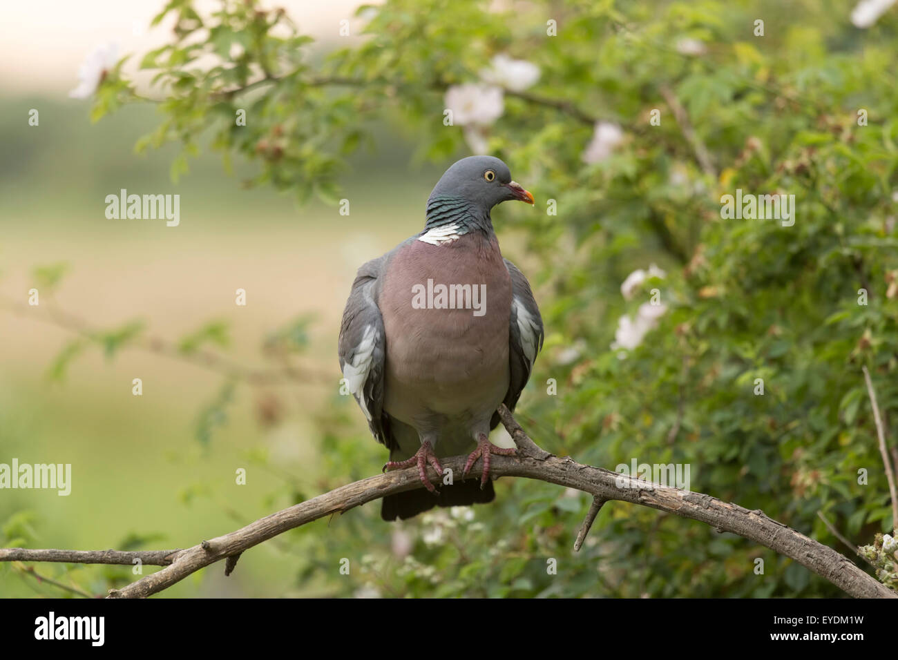 Wood Pigeon perched. - Stock Image
