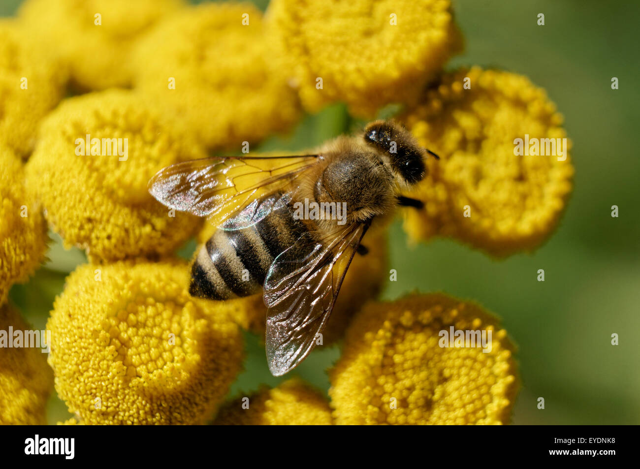 A western honeybee or European honey bee gathering pollen on Common tansy (Tanacetum vulgare) flowers, Vancouver, - Stock Image