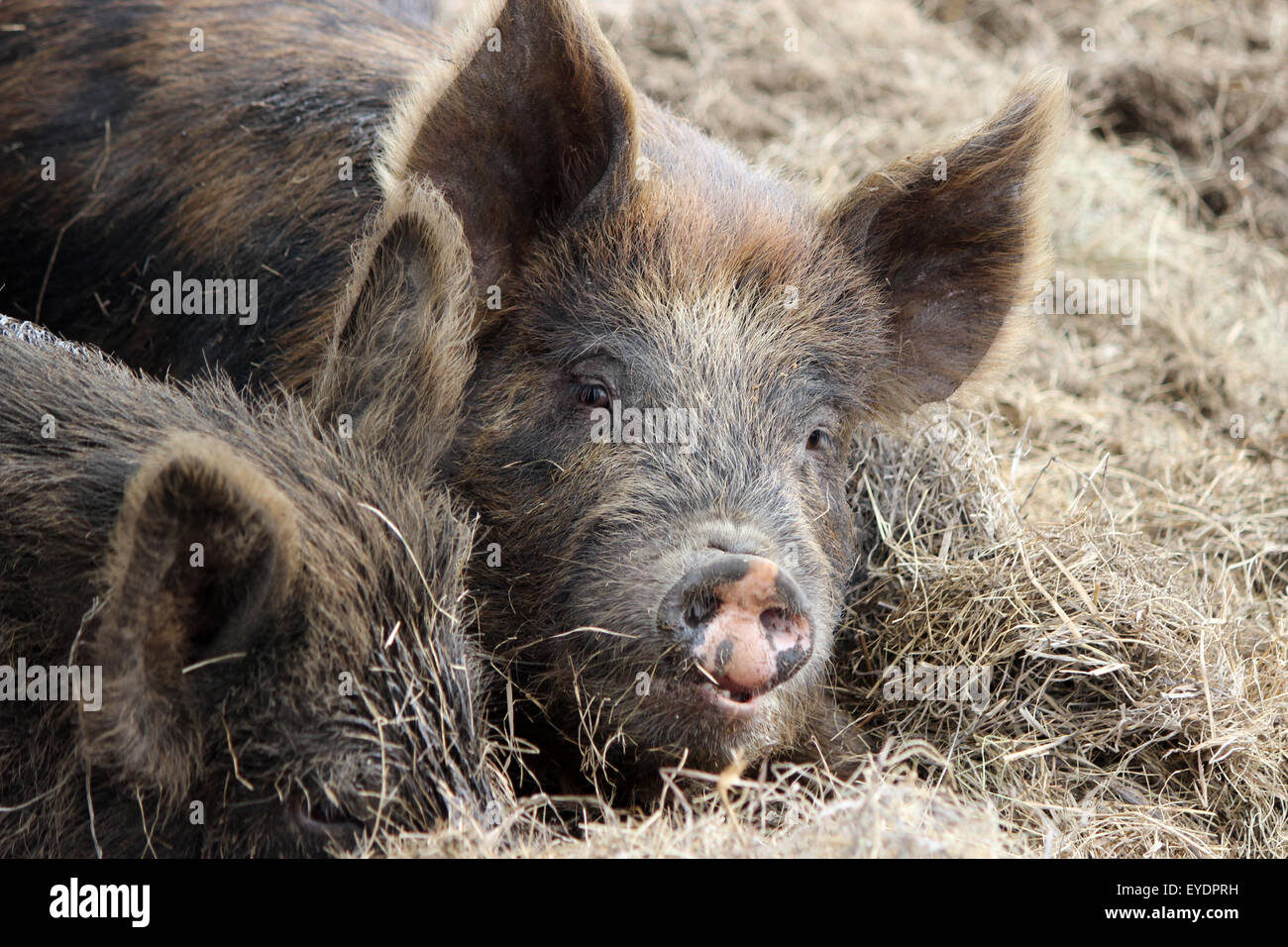 Two pigs on a farm lying in hay, one looking up at the camera - Stock Image