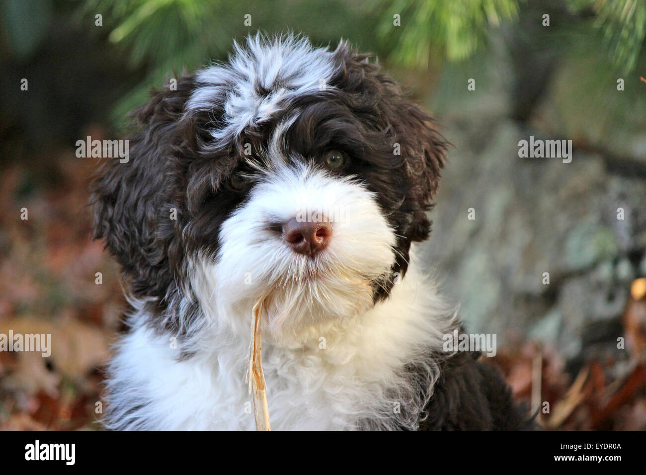 A young brown and white Portuguese water dog puppy chewing on a piece of straw - Stock Image