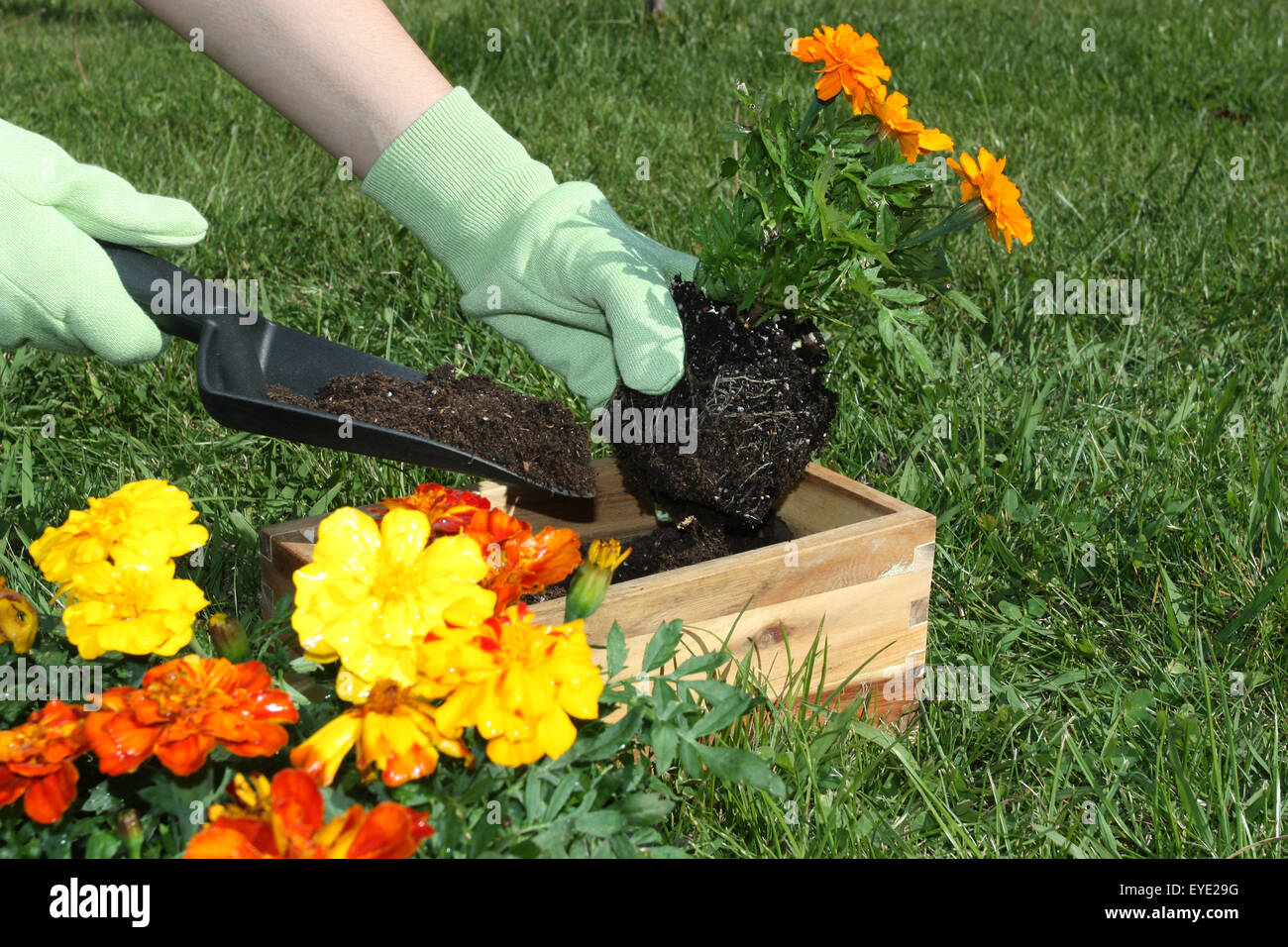 Potting flowers outdoors during spring stock photo 85746348 alamy potting flowers outdoors during spring mightylinksfo
