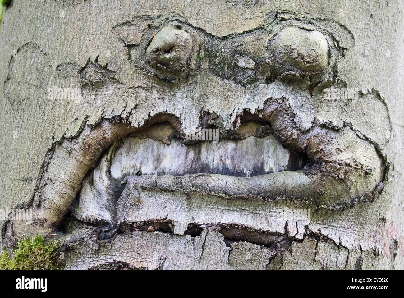 Grimace-like connation on a beech trunk (Fagus sp.), Hesse, Germany - Stock Image