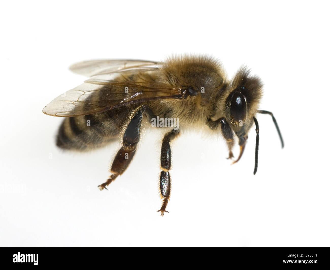 Biene, Apis mellifera; Honigbiene; Insekt - Stock Image
