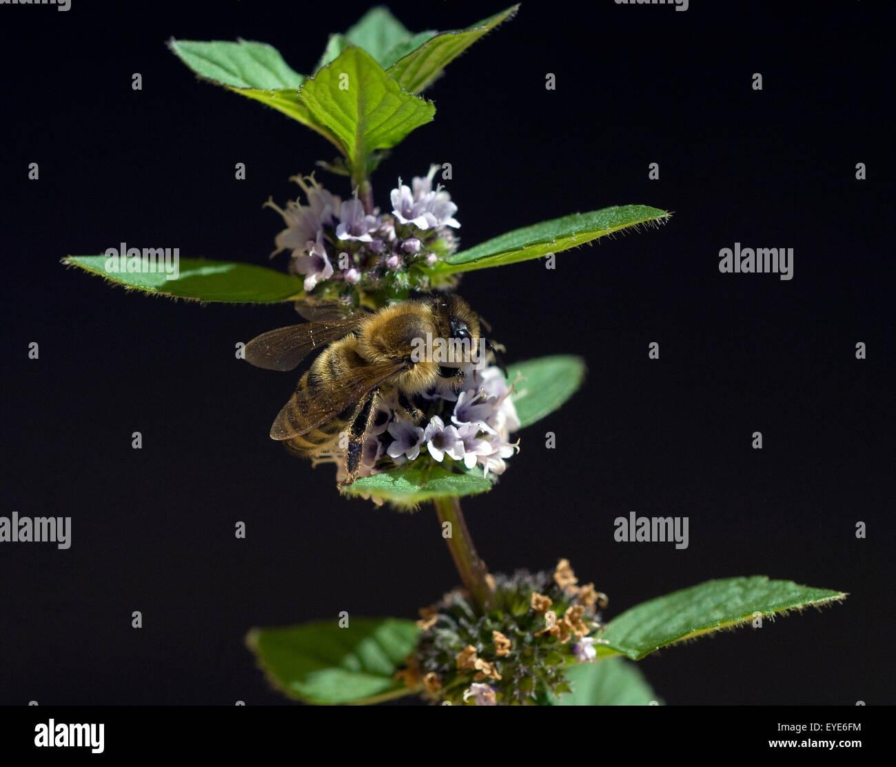 Biene; Apis, mellifera; Honigbiene; Insekt; Pfefferminze, Mentha piperita, Stock Photo