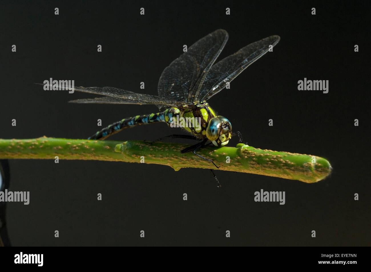 Blaugruene Mosaikjungfer, Aeshna cyanea, Stock Photo