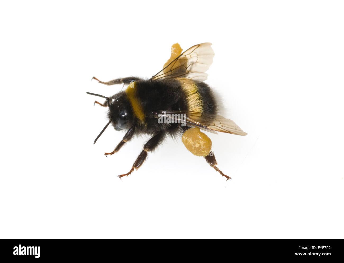 Erdhummel, Bombus, terrestris, Hummeln, - Stock Image