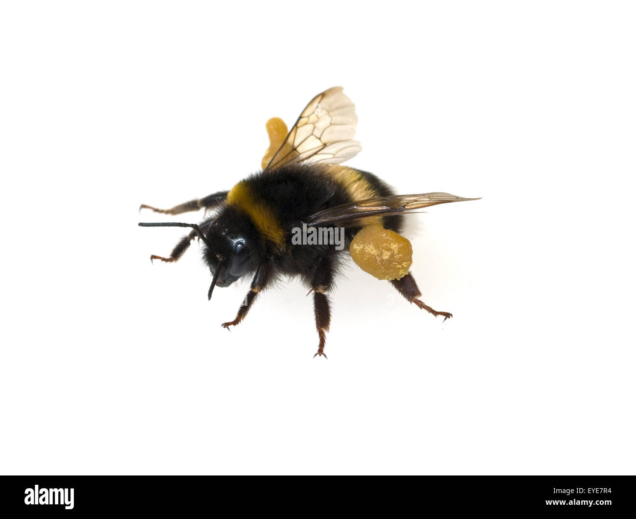 Erdhummel, Bombus, terrestris, Hummeln, Stock Photo