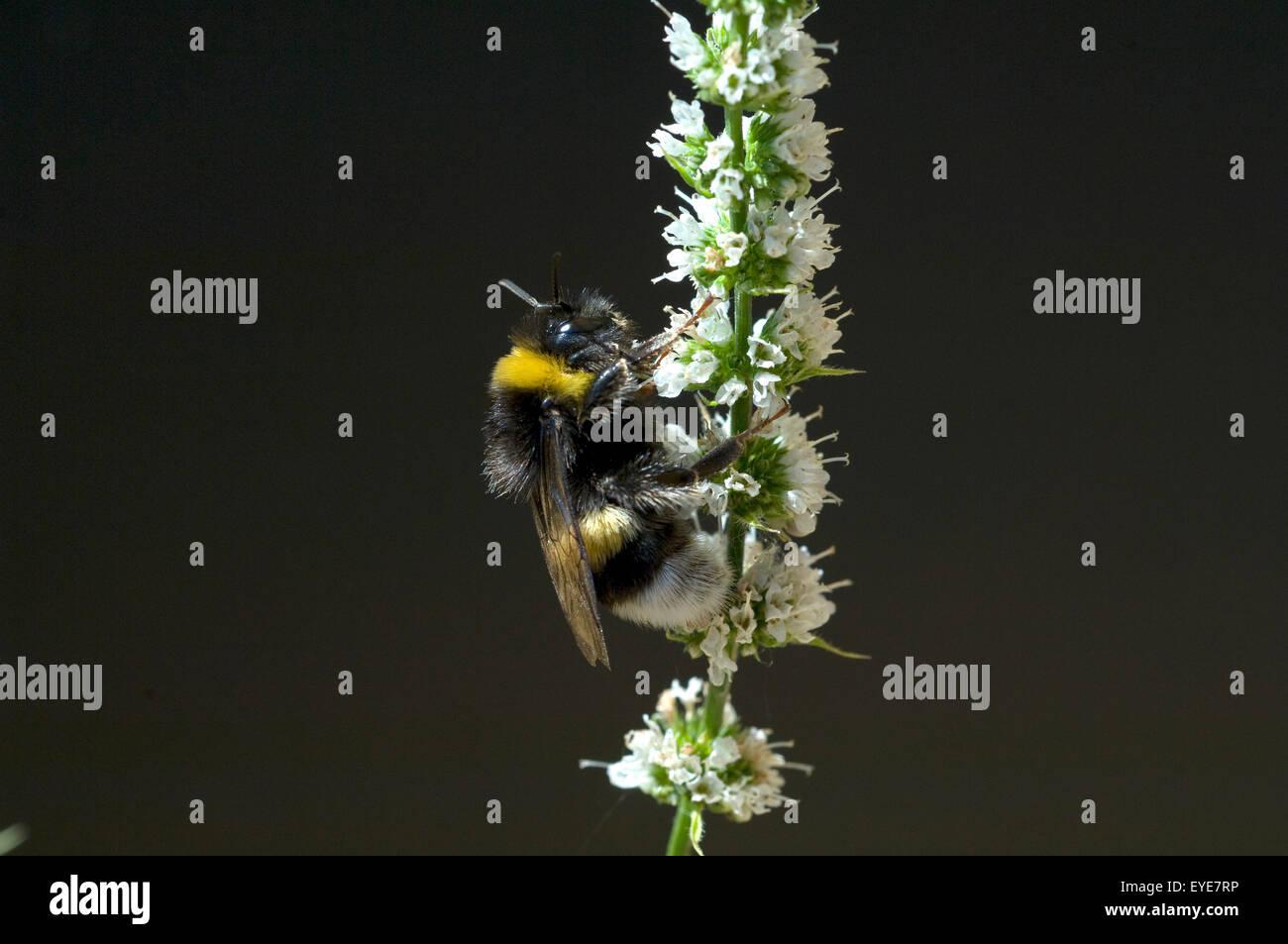 Pfefferminze; Erdhummel, Bombus, terrestris, Hummeln, - Stock Image