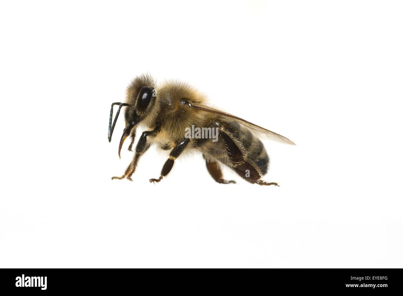 Biene; Apis, mellifera; Honigbiene; Insekt; - Stock Image